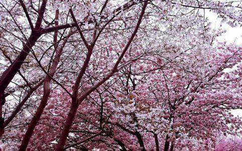 お花見_桜の木