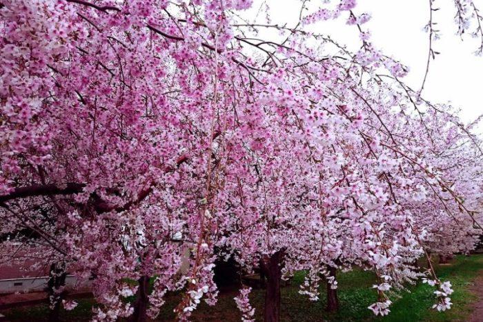 お花見_桜並木