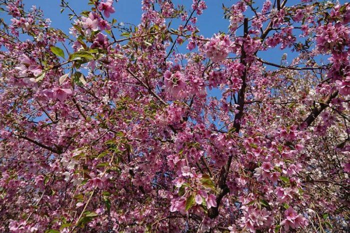 濃いピンクの桜_2019春