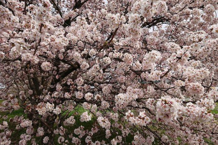 白い桜の木_2019春