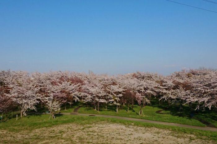 桜の杜_2019春