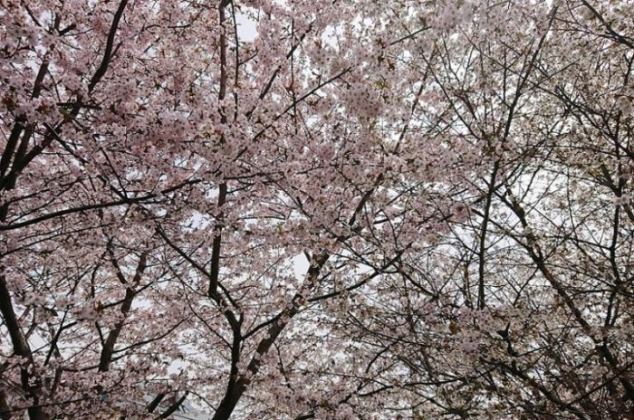 桜_2019春