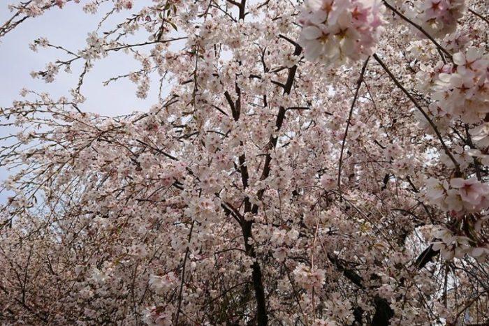 しだれ桜2_2019春