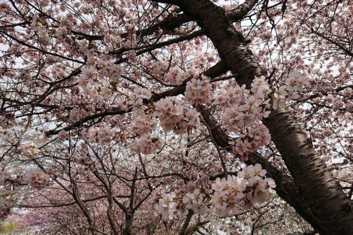 桜の花_2019春