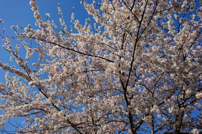 桜の木_2019春