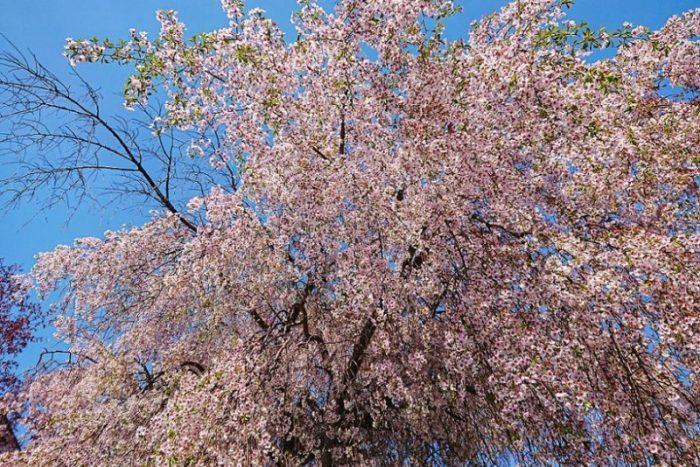 しだれ桜の大木_2019春