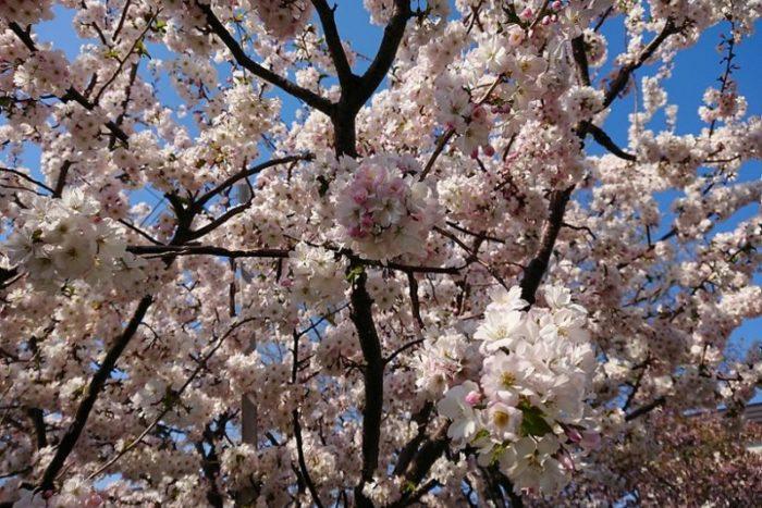 桜の白い花_2019春