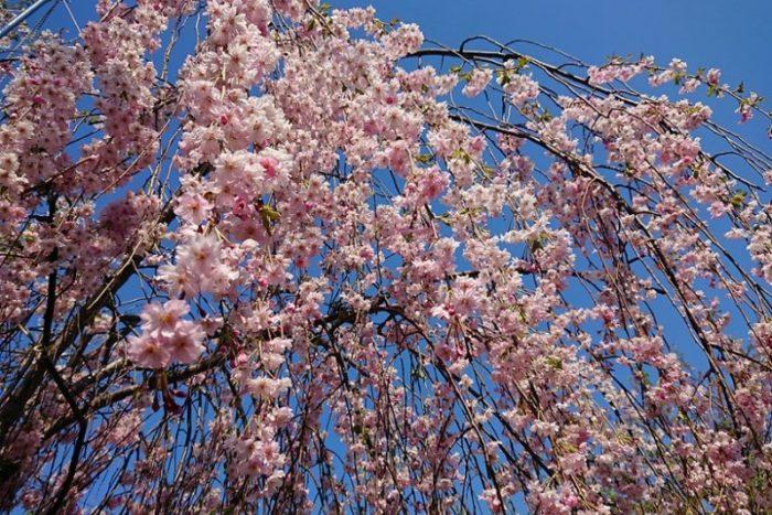 ピンク色のしだれ桜_2019春