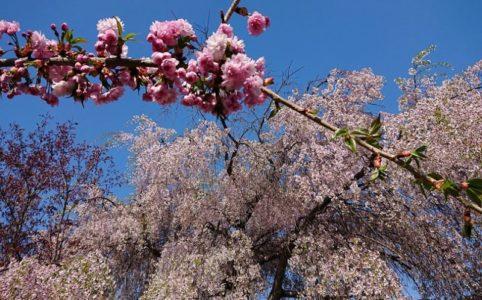 桜の枝としだれ桜_2019春