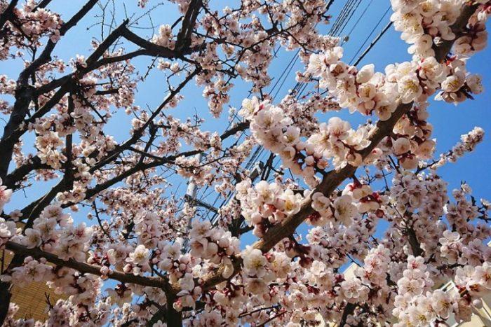 街角の梅_2019春