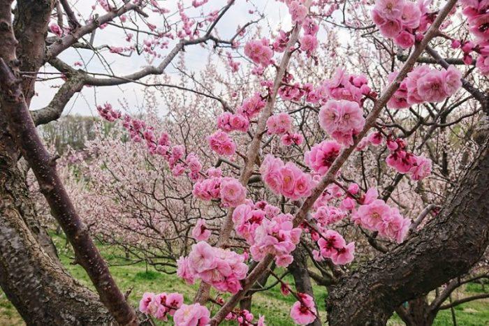 平岡公園の紅梅_2019春