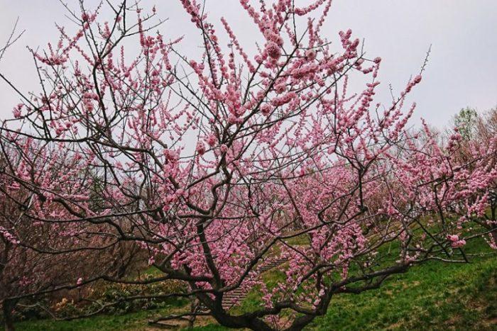 平岡公園の梅の木_2019春