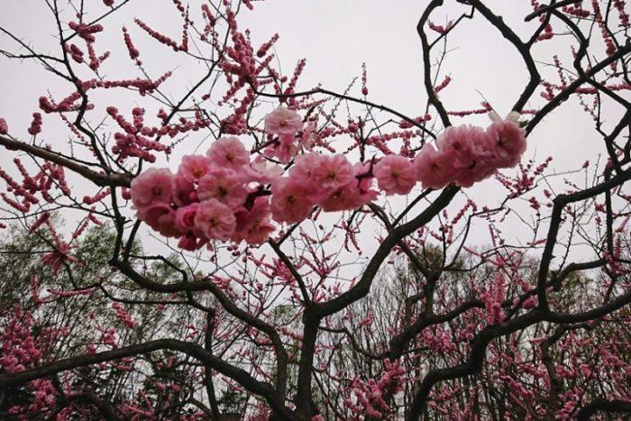 紅梅の花_2019春