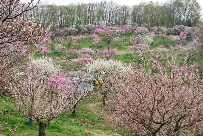 平岡公園の梅林_2019春